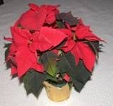 Poinsettia Plants And Plant Care On Pinterest