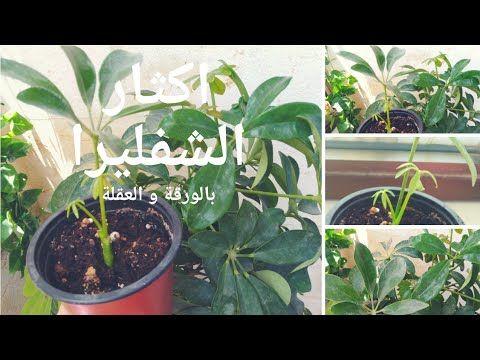 إكثار الشفليرا بالعقل و الأوراق بسهولة Schefflera Propagation From Leaf Youtube Plants