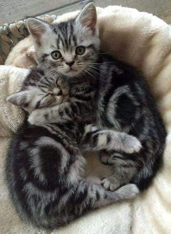Pin By Cheryl Mathers On Cats And Kittens With Images Silver Tabby Kitten Kittens Cutest Cute Cats
