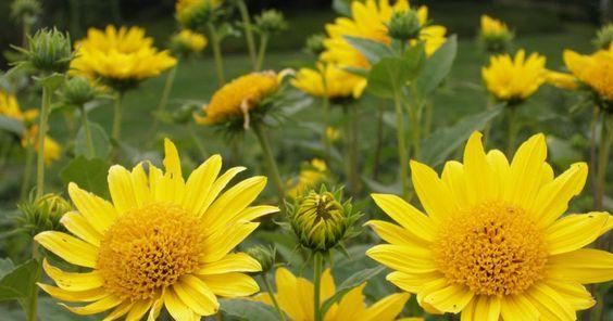 Stauden-Sonnenblume