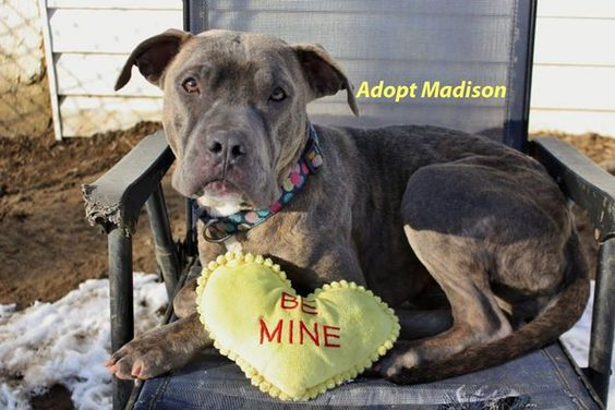 Cane Corso Mastiff & Pit Bull Terrier Mix • Adult • Female • Large Home Free Animal Rescue Red Bank, NJ