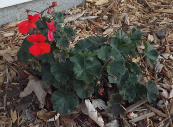 Overwintering geraniums and step by step guide on pinterest - Overwintering geraniums tips ...