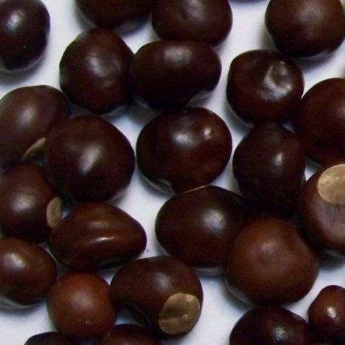 100 DRIED OHIO BUCKEYE NUTS-FROM SMALL TO LARGE FOR CRAFTS OHIO GROWN