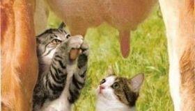 Funny living on farm - cow nursing little cat...