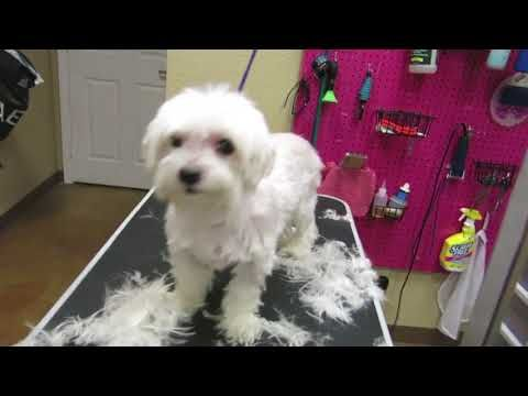 How To Trim Around The Eyes On A Maltese Clean Hair From Eyes Youtube Puppy Haircut Dog Haircuts Dog Grooming Styles