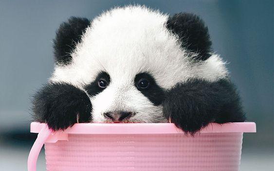 カワイすぎて、どうしよう! 国内外のパンダの魅力的なショットを集めました – grape [グレイプ]