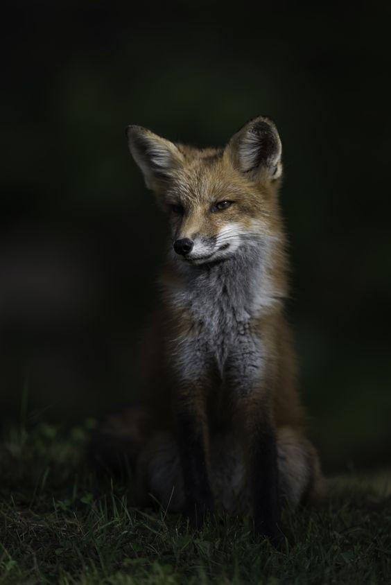Red fox... by Daniel Parent - Photo 133555851 - 500px