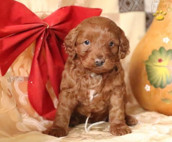 Dixie Mini Goldendoodle Puppy For Sale In Kinzers Pa Mini Goldendoodle Puppies Goldendoodle Puppy Cute Puppy Pictures