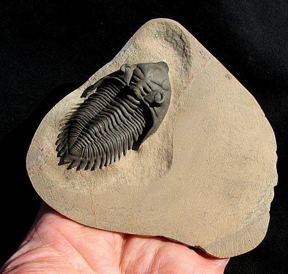 Metacanthina issoumourensis -  Trilobites.com presented by EXTINCTIONS Inc.