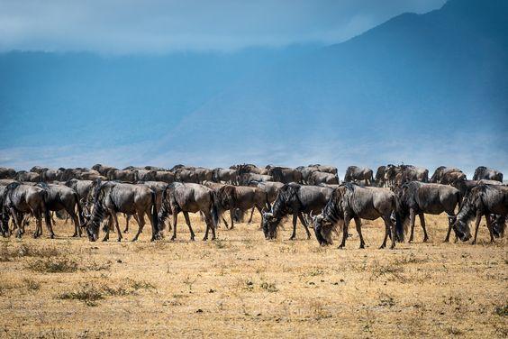 herd of wildebeests