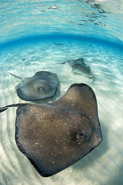 Stingray Sandbar ~ Grand Cayman Island, Caribbean Sea