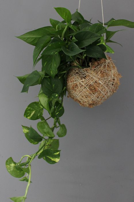 golden-pathos-indoor-plant-hanged-onto-ceiling-of-roof