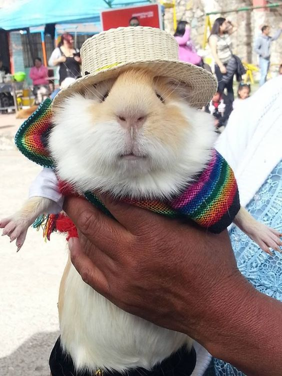 Guinea Pigs and Ecuador culture
