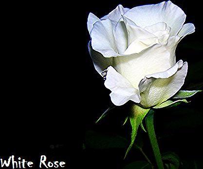 Foto Setangkai Bunga Wallpaper Setangkai Bunga Mawar Putih Pesquisa Google Selamat Pagi Mawar Gambar Sketsa Setangkai Bunga Matahari Wa In 2020 Rose Plants Flowers
