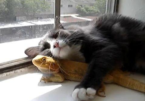 La amistad entre un gato y un Dragon Barbudo