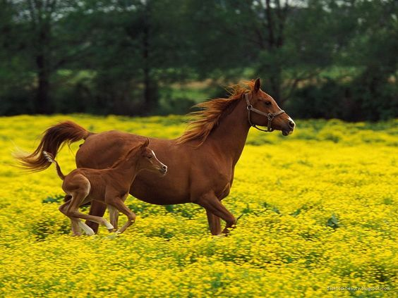 Two horses running side by side in a field with yellow flowers.