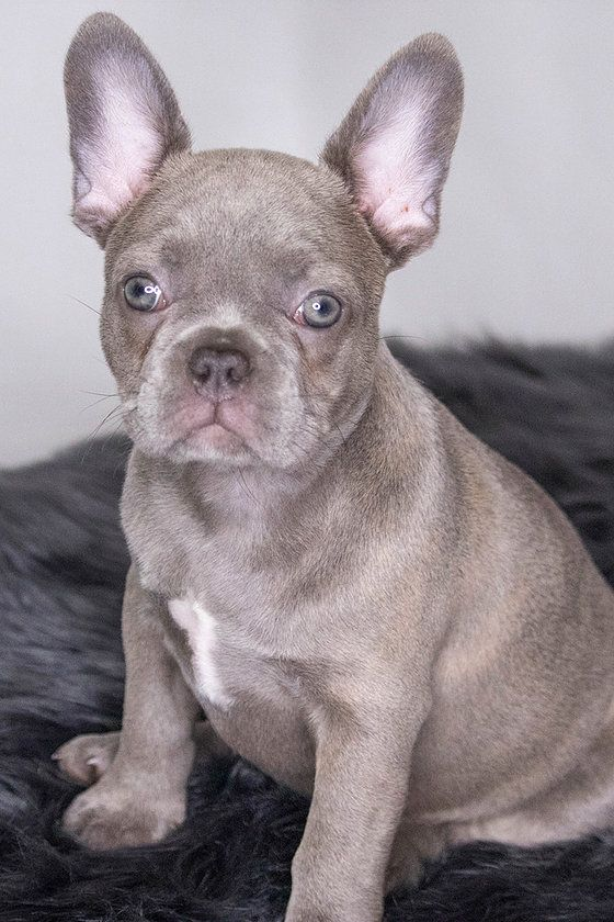Esme Lilac Frenchie French Bulldog Breeders French Bulldog Bulldog Puppies