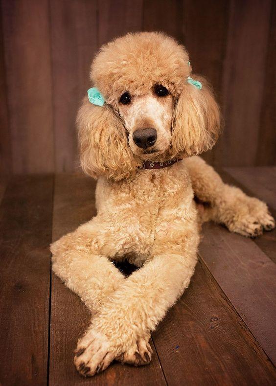 Poodle Standard Poodle Miniature Poodle Poodle Puppy