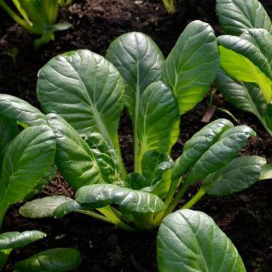 Oriental Tatsoi 500 Seeds Spoon Mustard Brassica Narinosa Brassica Plant Leaves Seeds