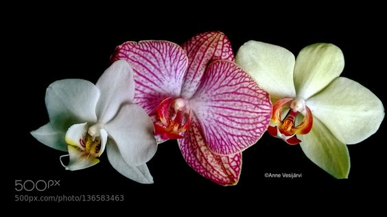 orchid trio by annevesijarvi. @go4fotos