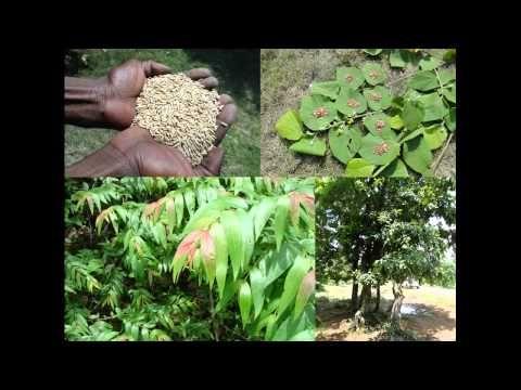 Medicinal Rice B4 Formulations for Tubercular Rheumatism: Pankaj Oudhia'...