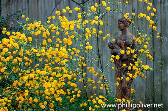 Kerria japonica, so easy to grow: