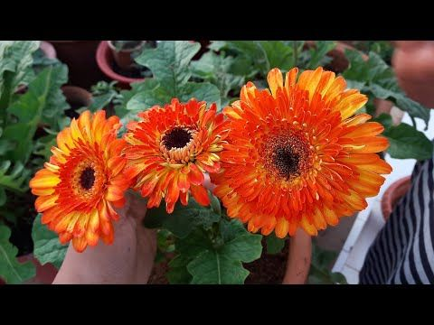 How To Grow And Care Gerbera Plant Care Of Gerbera Plant Youtube Gerbera Plant Plant Care Plants