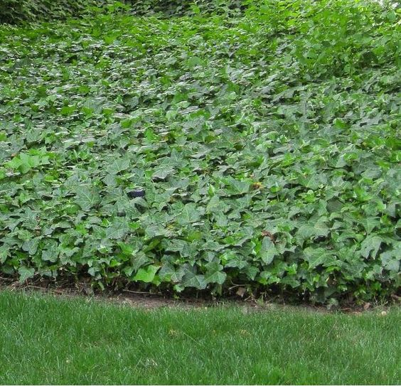 Using ivy as ground cover (photo : Hedera algeriensis 'Bellecour'®)