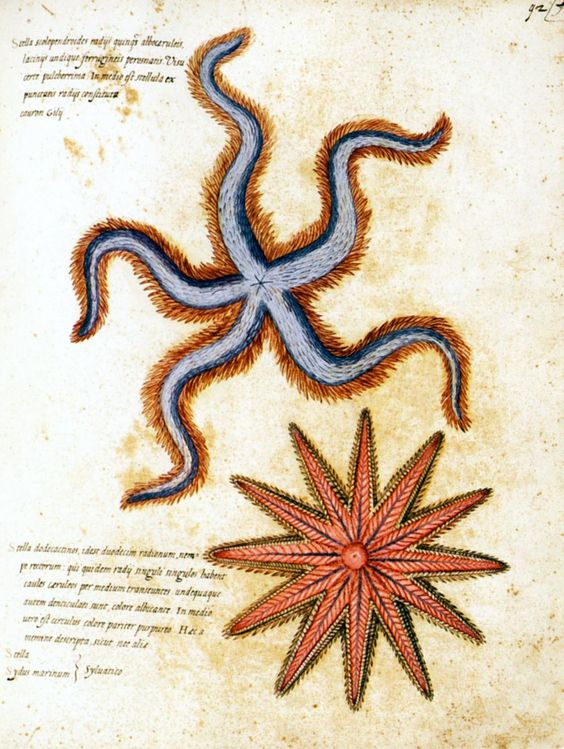 1599-1603  Ulisse Aldrovandi  Etoiles de mer. #animals #Ilustracion #Retro @deFharo