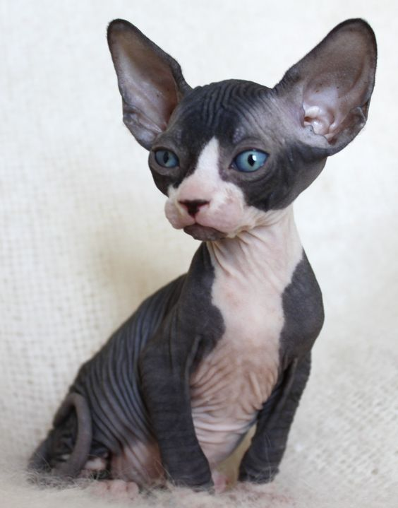 All About Tuxedo Cats Black Hairless Cat Hairless Cat Cat Facts