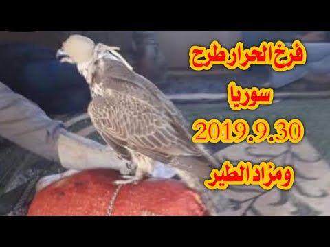 طرح سوريا فرخ حرار نادر 2019 9 30 بيع ١٧٠ الف ريال ومزاد الطير Youtube Falconry Animals Parrot