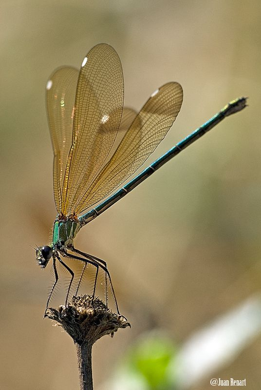 dragon fly - attract dragon flies to your garden by giving them a perching spot.  Be it a bean stake, or even a few lone bamboo poles throughout your garden, you are sure to attract these mosquito eating beauties!