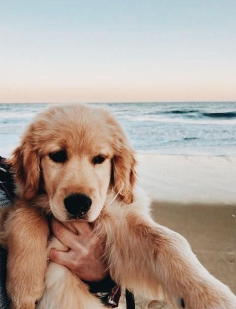 Follow Teenieworld For More Puppies Dogs Golden Retriever