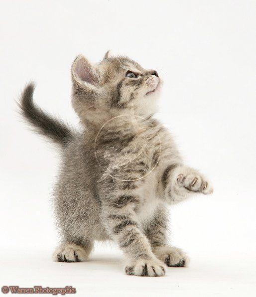 Grey Tabby British Shorthair Kitten Photo Greykittens Tabby Cat