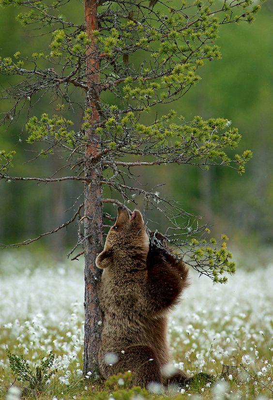 Brown bear in field of flowers - photo by Marko König