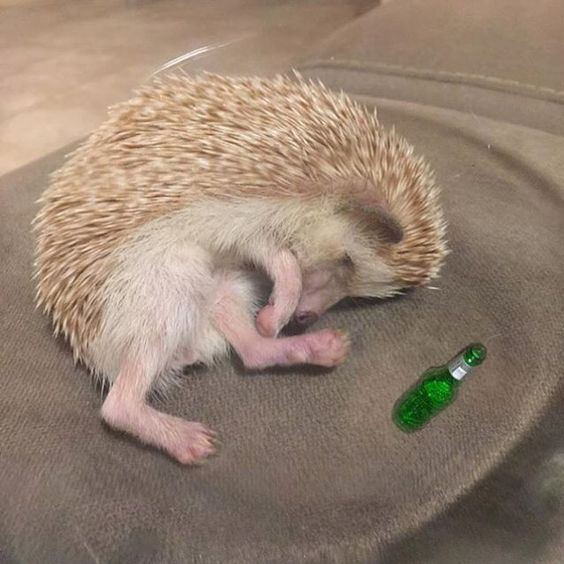 This photo of #ipsyStylist @PromiseTamang's hedgehog Poki just made our Saturday night. #TurntUp #HappySaturday 😂