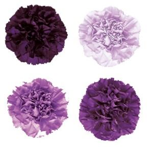 FiftyFlowers.com - Purple Carnation Flowers Mixed; 80 Carnations for $99.99; free FedEX shipping