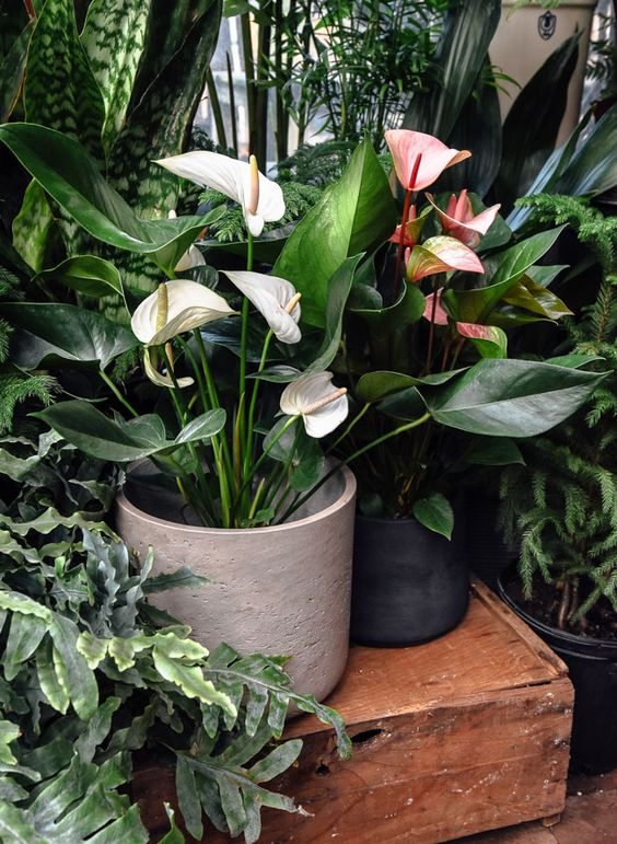 Anthurium Care
