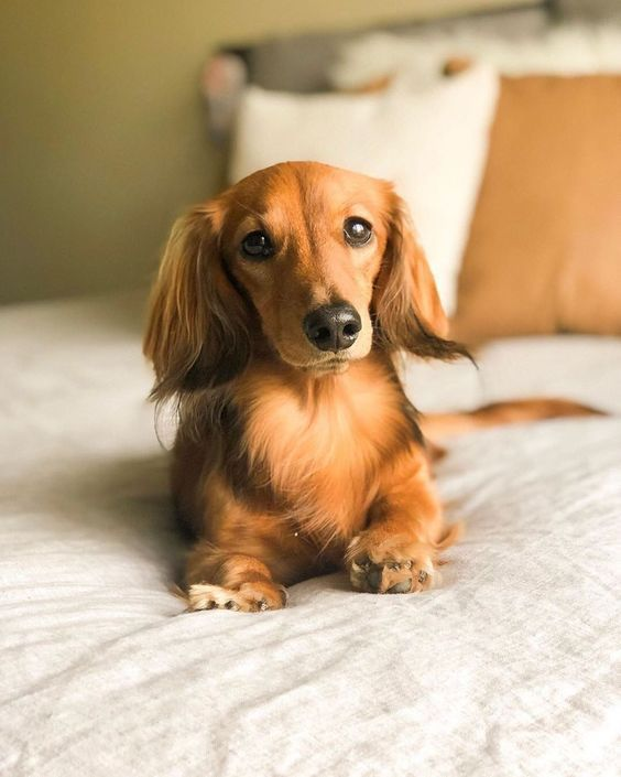 Pin On Cute Dachshund Dogs