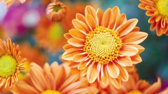 Plant guide: Chrysanthemums