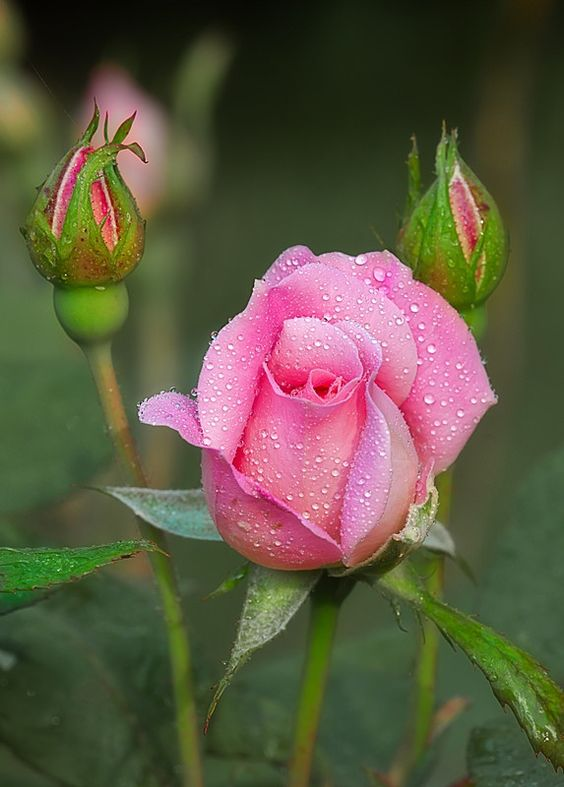 Morning Rose.They look so pretty.Please check out my website thanks. www.photopix.co.nz: