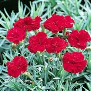 Perennial low growing flowers image collections flower decoration perennial low growing flowers beautiful flower 2017 low growing perennials at thompson man perennials for the mightylinksfo Choice Image