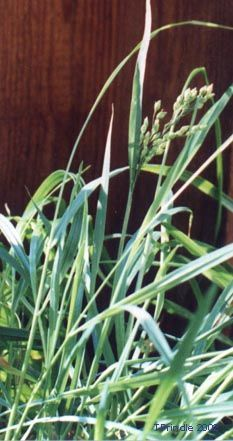 Many Native tribes in North America use sweetgrass in prayer, smudging or purifying ceremonies and consider it a sacred plant. It is usually...