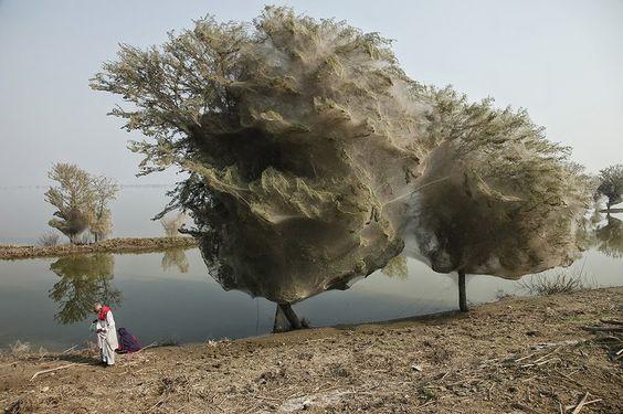 Árvores cobertas por teias de aranhas no Paquistão