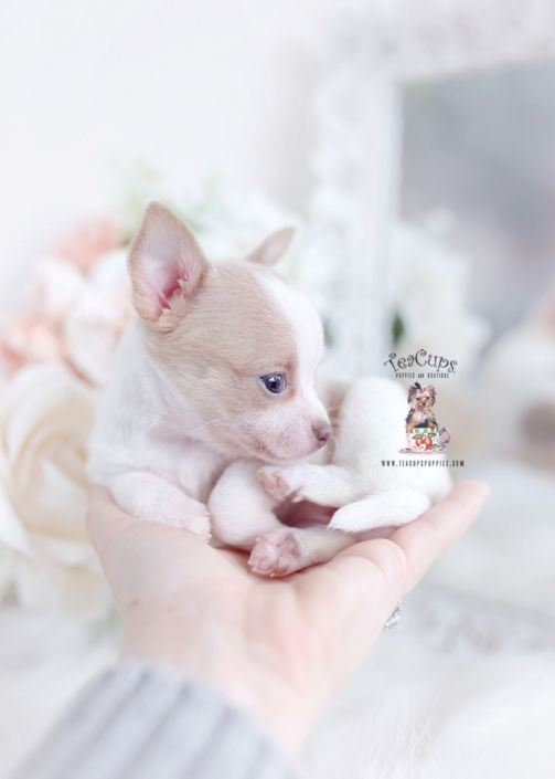 Chihuahua Puppy For Sale Teacup Puppies 250 A In 2020 Teacup Puppies Teacup Puppies For Sale Puppies For Sale