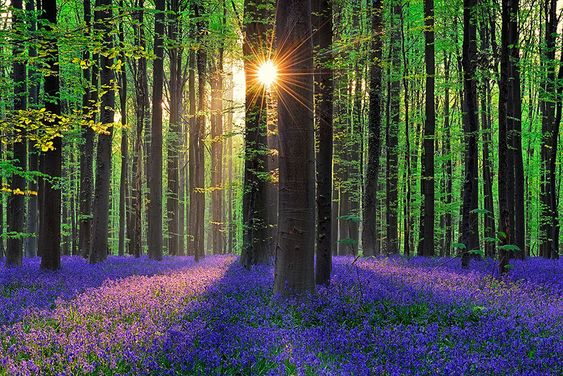 une mystérieuse forêt entièrement tapissée de jacinthes - Atmosphère Citation