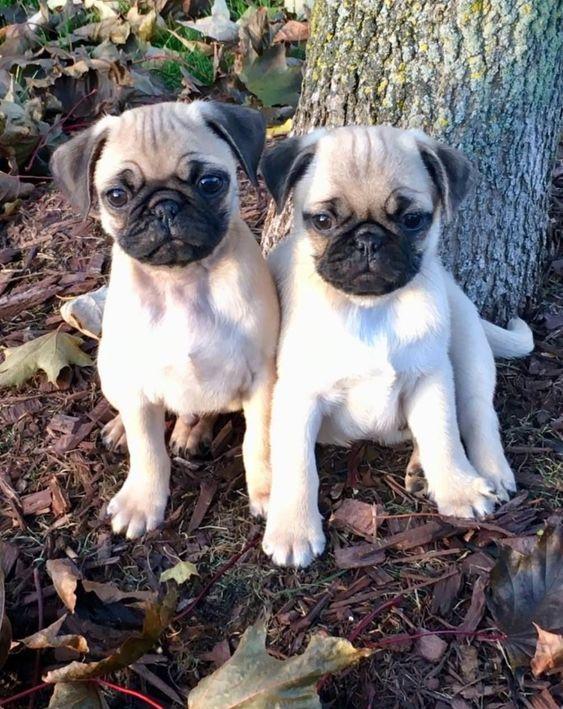 Twins 3 Cute Pug Puppies Cute Dogs Baby Pugs