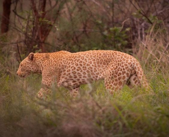 The 'Strawberry' or 'Caramel' Leopard as found in Madikwe Game Reserve. This animal as Erythryism, a rare genetic reddish pigmentation, and this photo shows the first known wild example of it. Photo courtesy Deon De Villiers
