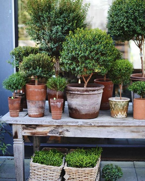 A charming array of miniature clipped Myrtle topiary (Myrtus communis) at a stunning nursery @zetastradgard in Stockholme in Sweden. Love the assortment of aged terracotta pots 📷pinterest #myrtletopiary #topiary #miniaturetopiary #pottedplants #nursery #florist #indoorgarden #topiarycollection