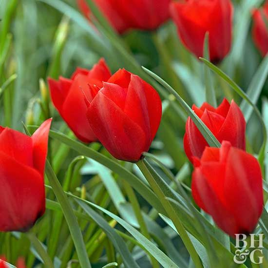 Top Tulips That Come Back Every Year Plants Tulips Red Tulips